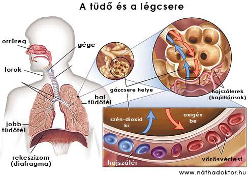 a tüdő és gázcsere